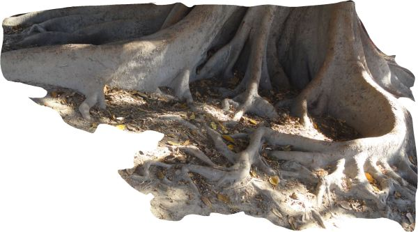 Ficus Macrophylla o Higuera Australiana. Valencia. Foto R.Puig