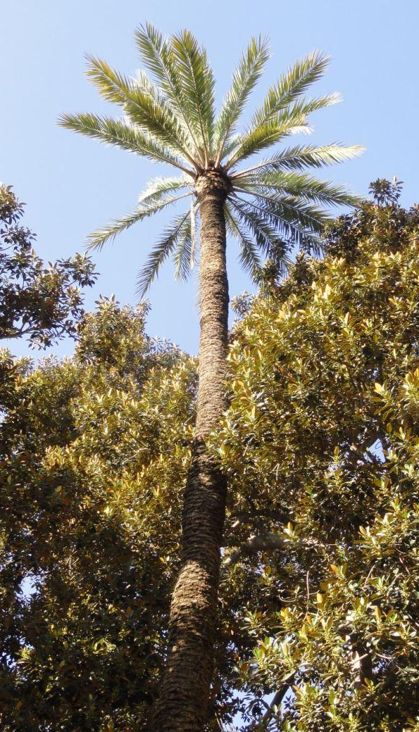 Phoenix Dactylifera y Ficus Macrophyla. Foto R.Puig