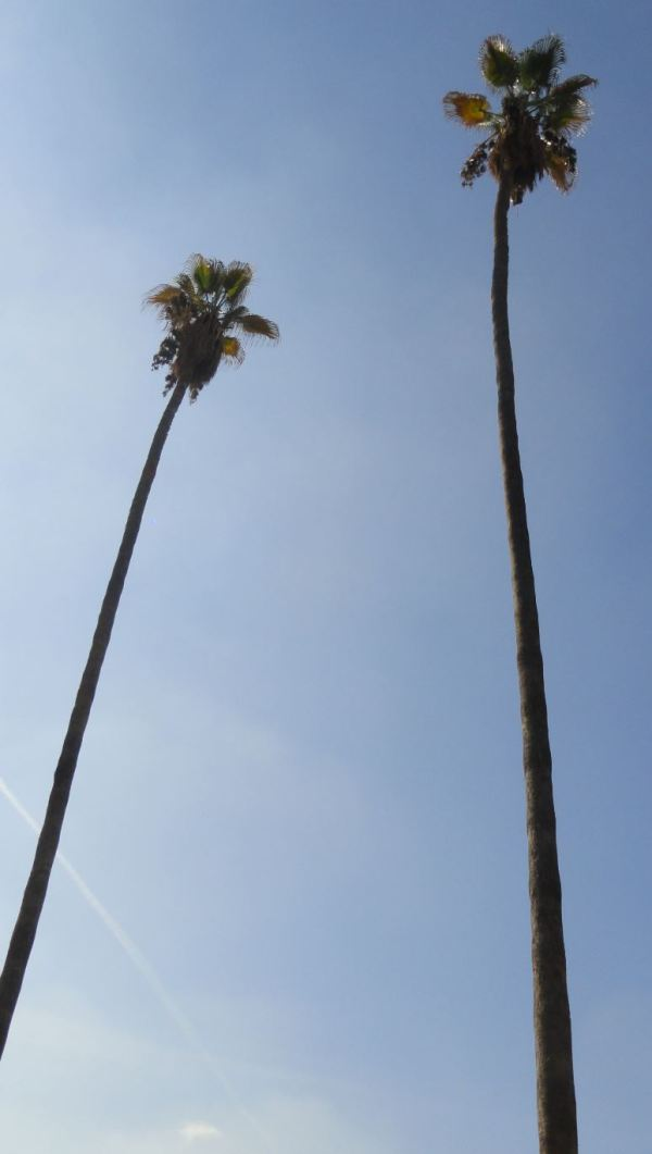 Washingtonia robusta. Foto R.Puig