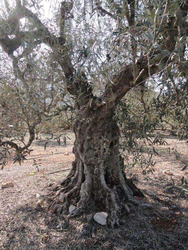 El olivo triste. Foto R.Puig