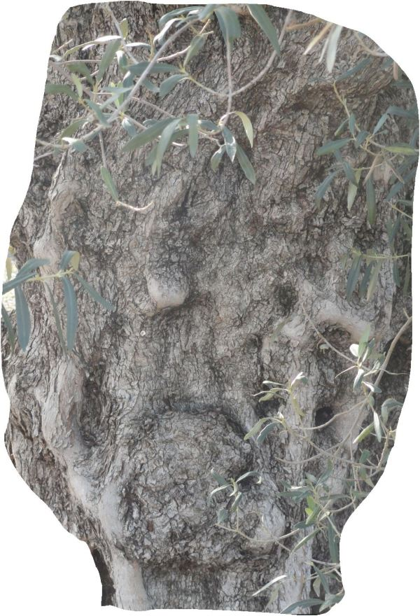 La amargura del olivo. Foto R.Puig