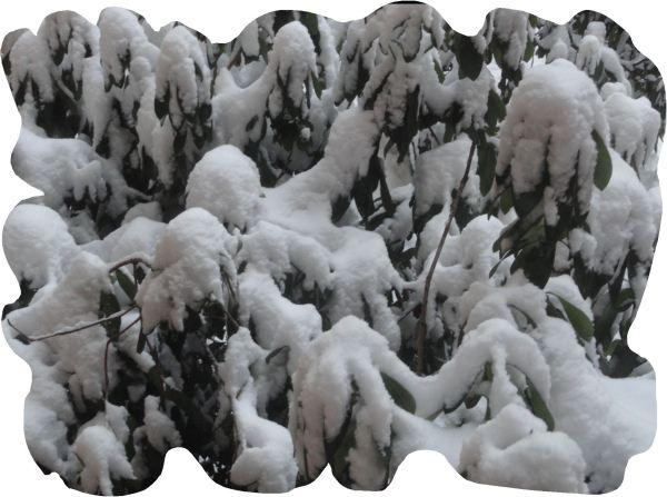 Rododendros nevados. Febrero 2018. Foto R.Puig