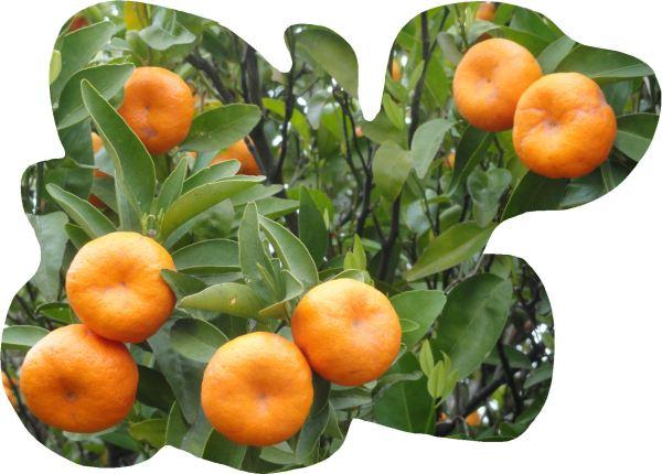 Mandarinas en su rama.   Foto  R.Puig.JPG