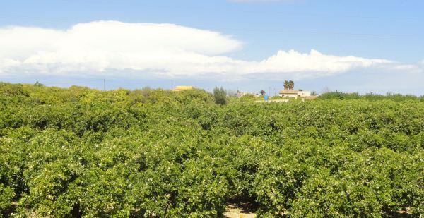 Naranjales. Ondara. Foto R.Puig