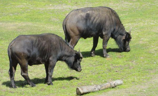 Búfalos. Zoo de Borås. Foto R.Puig