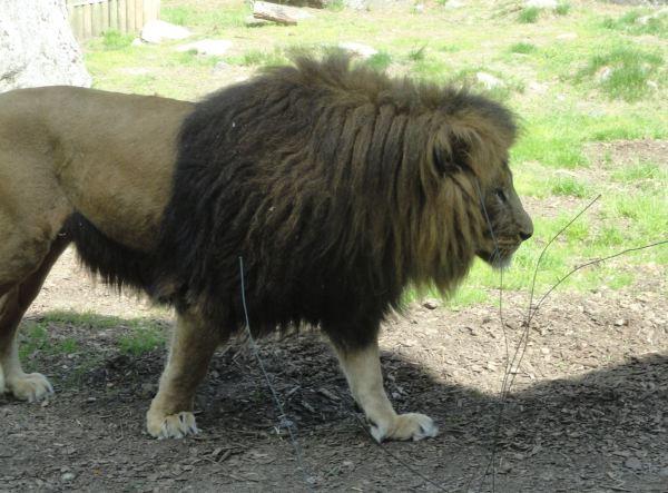 Buscando la sombrita. Zoo de Borås. Foto R.Puig