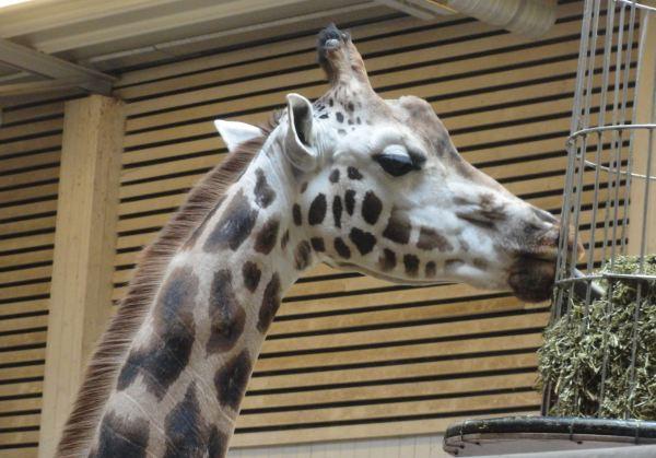 El almuerzo de la jirafa. Zoo de Borås.Foto R.Puig