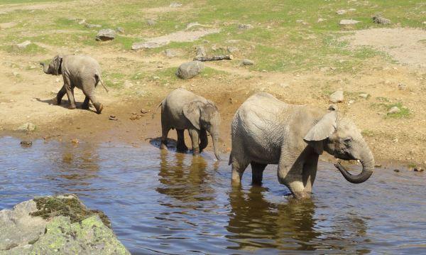 Elefantes acicalándose. Zoo de Borås. Foto R.Puig