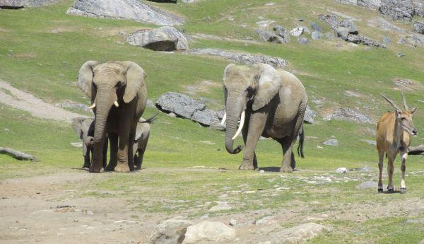 Elefantes africanos. Zoo de Borås. Foto R.Puig