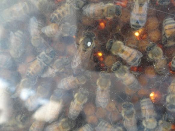 La reina abeja sueca (marcada con la señal blanca de 2018) en un panal sueco. Foto R.Puig