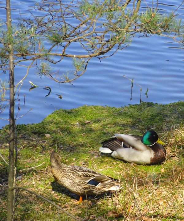 Pato y pata. Foto R.Puig