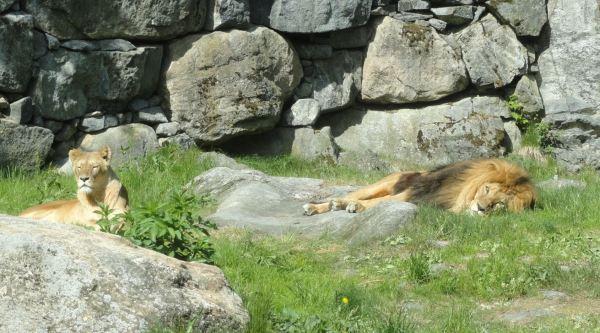 Sesteando. Zoo de Borås. Foto R.Puig