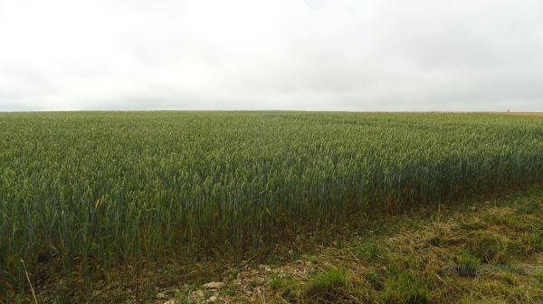 Campos de cereal en Borgoña. Foto R.Puig