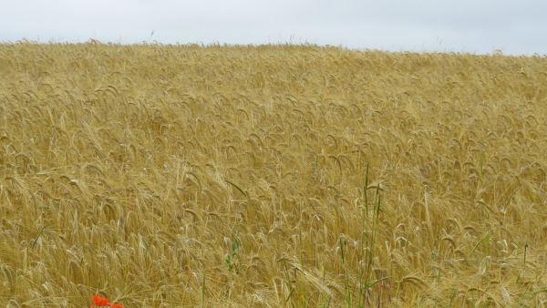 Campos de trigo en Borgoña. Foto R.Puig