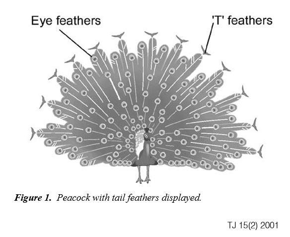 Las plumas del pavo real. Stuart Burgess.TJ 15(2) 2001
