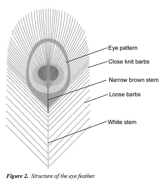 Las plumas del pavo real. Stuart Burgess. TJ 15(2) 2001