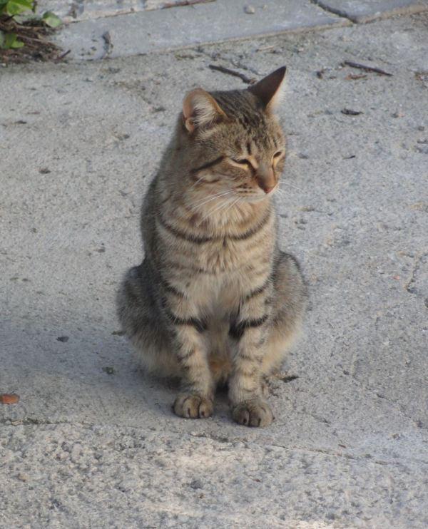 Gato en la Vall d.Ebo. Foto R.Puig