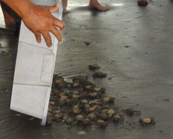 Liberando a las tortuguitas. Foto R.Puig