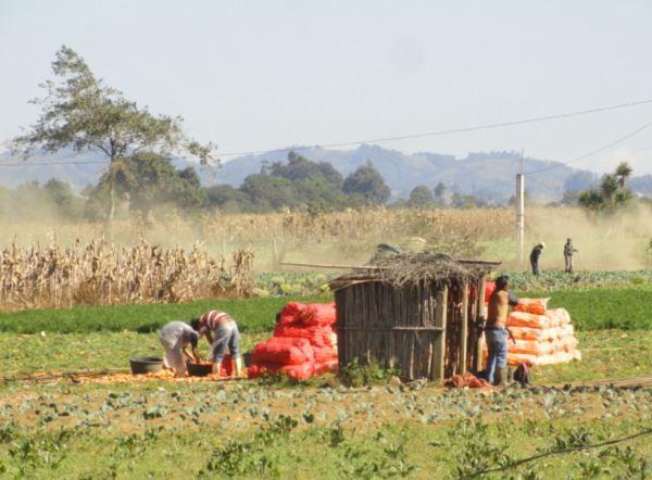En ruta hacia el lago de Atitlán. Cultivos para la exportación. Foto R.Puig