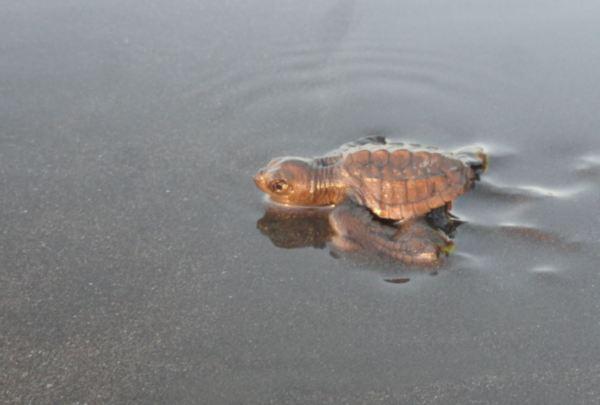 La tortuguita tozuda. Foto R.Puig.