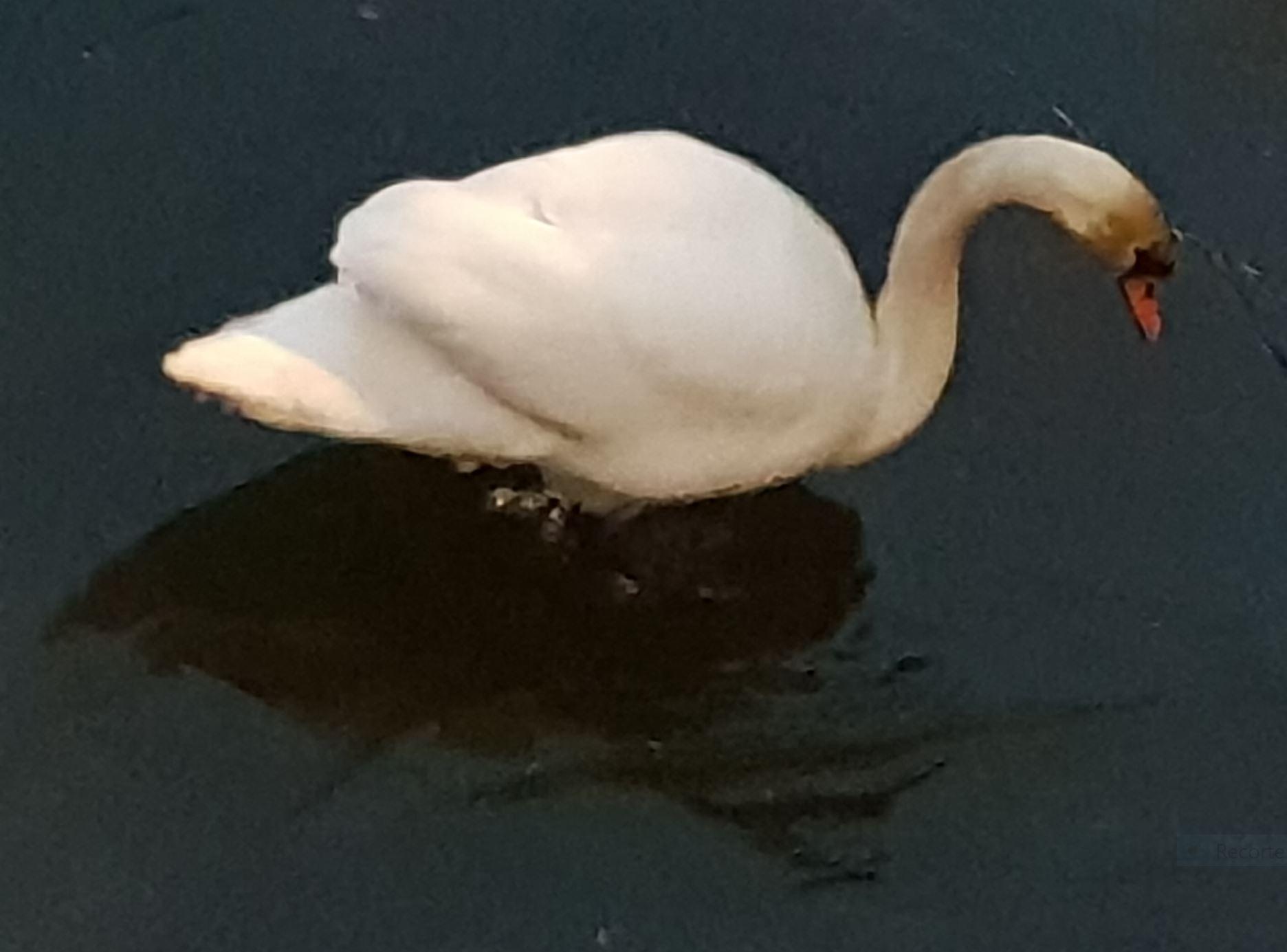 El cisne es cisne. Foto R.Puig