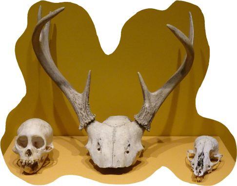 Cráneos de Mono, Venado y zorro. Túcume