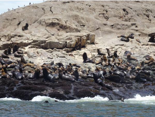 Lobos marinos en la Isla Palomino. Foto R.Puig
