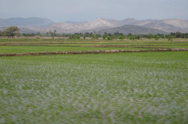 Arrozales en Lambayeque. Foto R.Puig