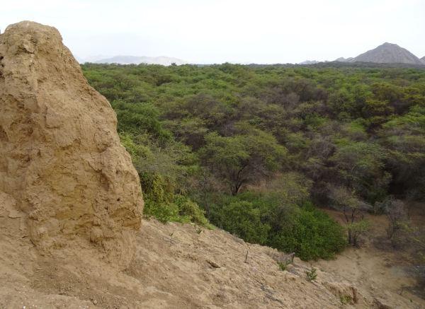 El bosque de Pómac desde la Huaca de la Merced. Foto R.Puig