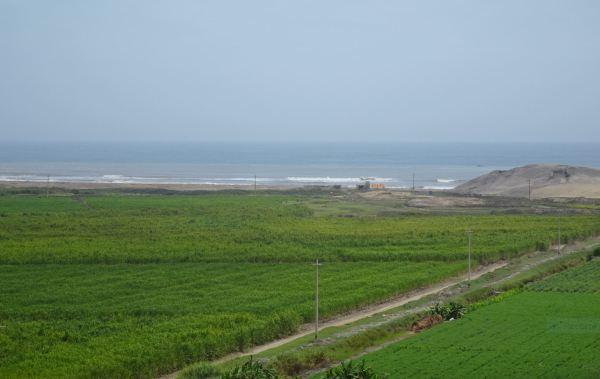 Cultivos de caña de azucar en torno al Complejo de El Brujo. Foto R.Puig