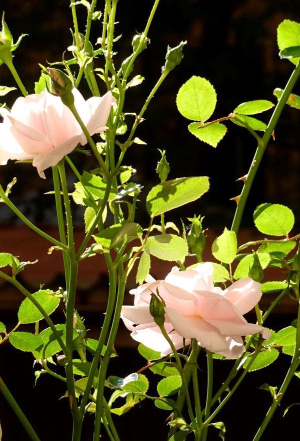 Rosas en nuestra ventana. Foto R.Puig