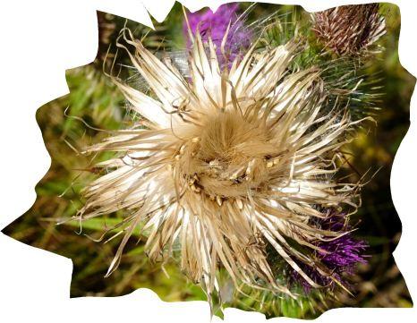 Flor de cardo. Pilane. Foto R.Puig
