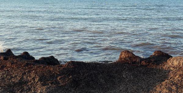 Hojas muertas de Posidonia. Playa de la Almadraba. Foto R.Puig