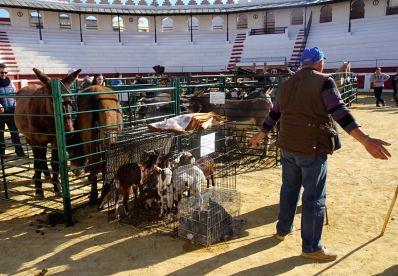 Ondara, Feria de ganado. Vengan y vean. Foto R.Puig