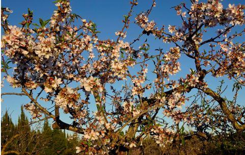 Almendros en febrero. Foto R.Puig