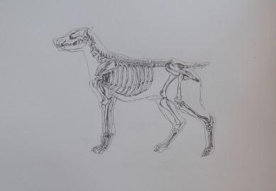 Esqueleto de perro. R.Puig 2011.