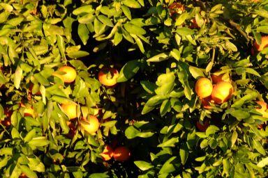 Naranjas en febrero. Foto R.Puig