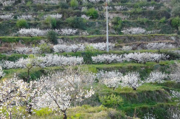 Cerezos en flor en la Val de Gallinera. Foto R.Puig