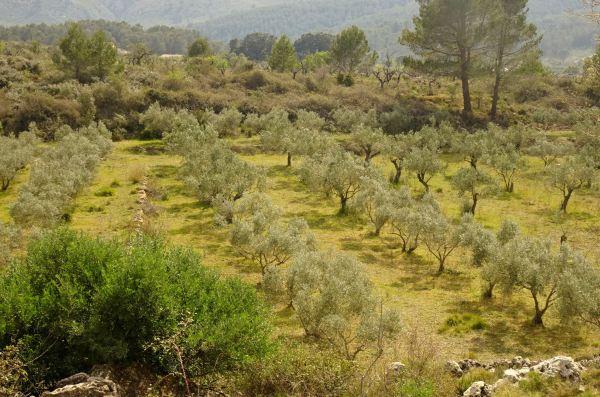 El olivar ante la alquería al final del sendero. Foto R.Puig