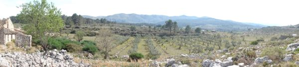 Olivar de la Vall d'Alcalá y al fondo la Sierra de la Carrasca. Foto R.Puig