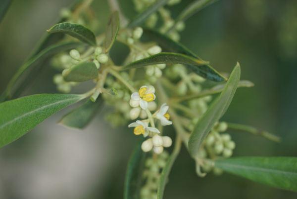 Flor del olivo. Foto Ramón Bermúdez Cañete