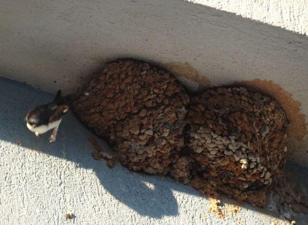 Dos nidos de golondrinas en tiempo de cría. 19.05.2020. Foto R.Puig
