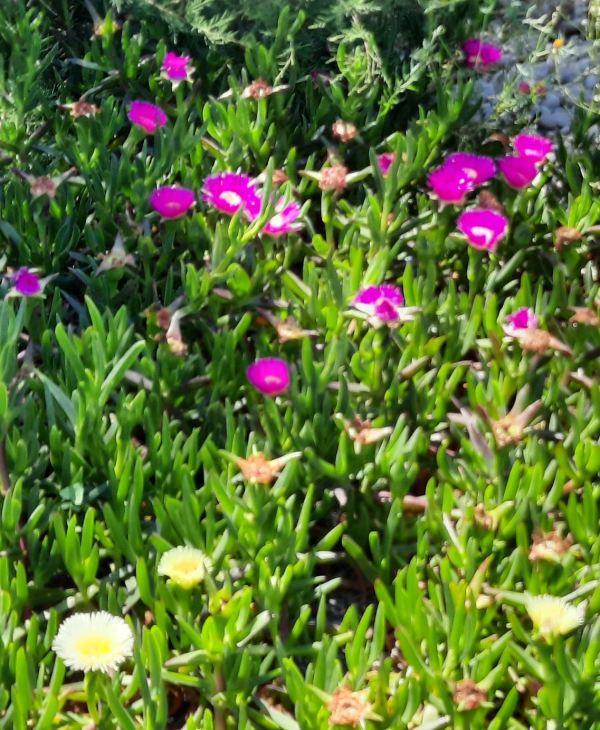 Flores de la costa. Foto R.Puig